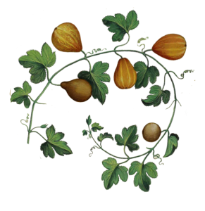 botanic-illustration