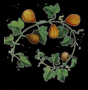 botanic-illustration