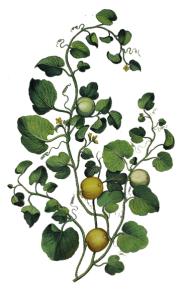 botanic-illustration2